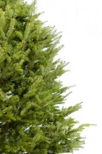 pine allergies