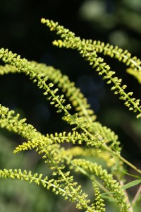 Ragweed photo