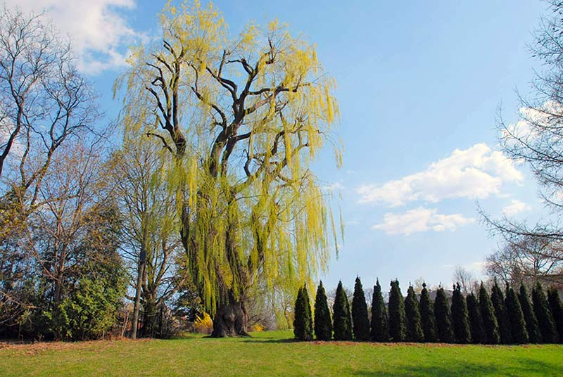 Best and Worst Trees for Allergies